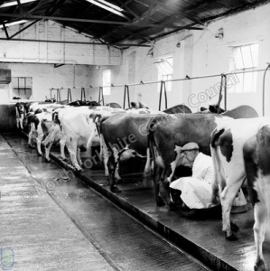 Manor Farm Herd, Farnham